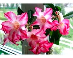 Адениум - прекрасна троянда пустелі