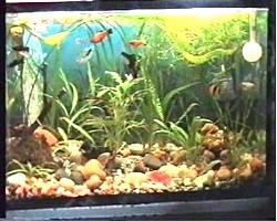 Акваріум: як правильно утримувати рибок, поради новачкові