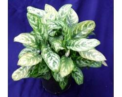 Декоративні домашні рослини: аглаонема