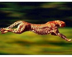 Гепард - справжня дика кішка
