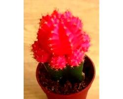 Гимнокалициума - японський кактус