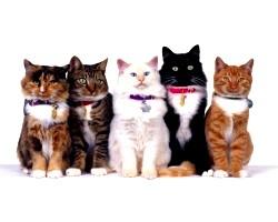 Як почати займатися розведенням породистих кішок