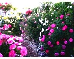 Як правильно посадити квіти на дачі