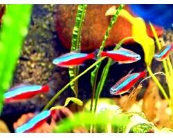 Як доглядати за акваріумними рибками неону