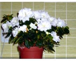 Як в домашніх умовах доглядати за квіткою азалія?