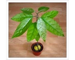 Як виростити авокадо з кісточки в домашніх умовах