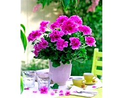 Які квіти сприятливо впливають на комфорт в будинку