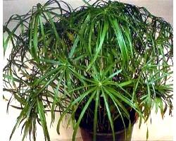 Які кімнатні рослини не можна тримати вдома?