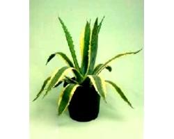 Кімнатна рослина агава