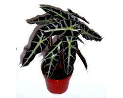 Кімнатна рослина алоказия