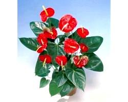 Кімнатна рослина антуріум
