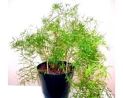 Кімнатна рослина аспарагус