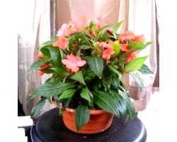 Кімнатна рослина бальзамін