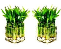 Кімнатна рослина бамбук