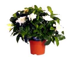 Кімнатна рослина гарденія