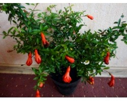 Кімнатна рослина гранат