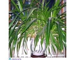 Кімнатна рослина панданус