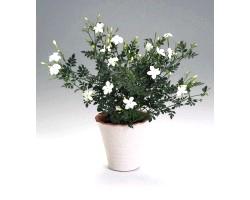 Кімнатна рослина жасмин