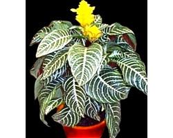 Кімнатні рослини афеландра