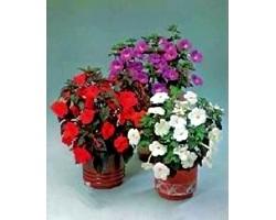 Кімнатні рослини: ахіменес