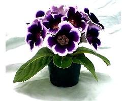 Кімнатні рослини: глоксинія