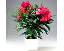Кімнатні рослини: олеандр