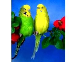 Годування та догляд за хвилястими папугами