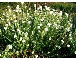 Лікувальні властивості трави грициків