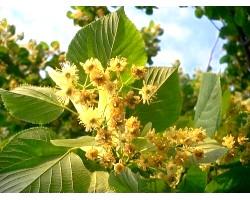 Липа - що це за дерево, як росте і корисні властивості