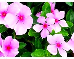 Малий і рожевий барвінок: лікувальні властивості і застосування в медицині
