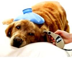 Піроплазмоз у собак: лікування