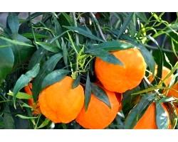 Застосування гіркого апельсина