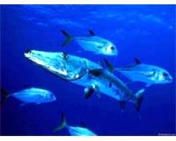 Риба баракуда: корисні властивості