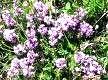 Трава чебрець, лікувальні властивості