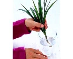 Вегетативне розмноження кімнатних рослин