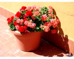 Види декоративних рослин
