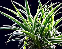 Вирощування і догляд за хлорофітумом.