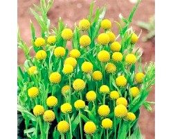 Сунична трава цефалофора